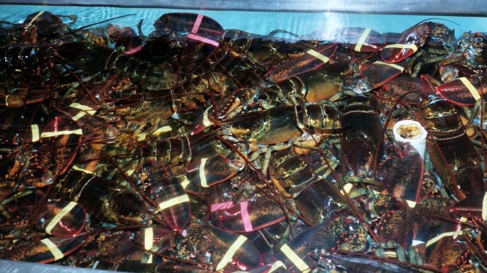 Lots of lobsters!