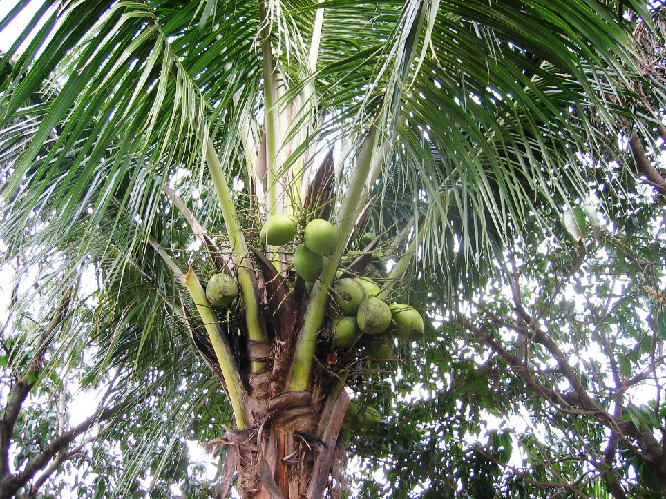 And these are coconuts still on the tree?