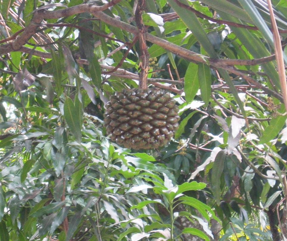 It looks sort of like a pineapple but we have no idea what this is.