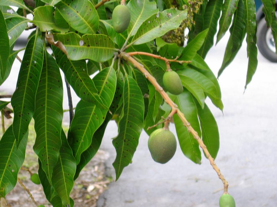 We know New River grows mangoes, and that's sure what these look like to us.