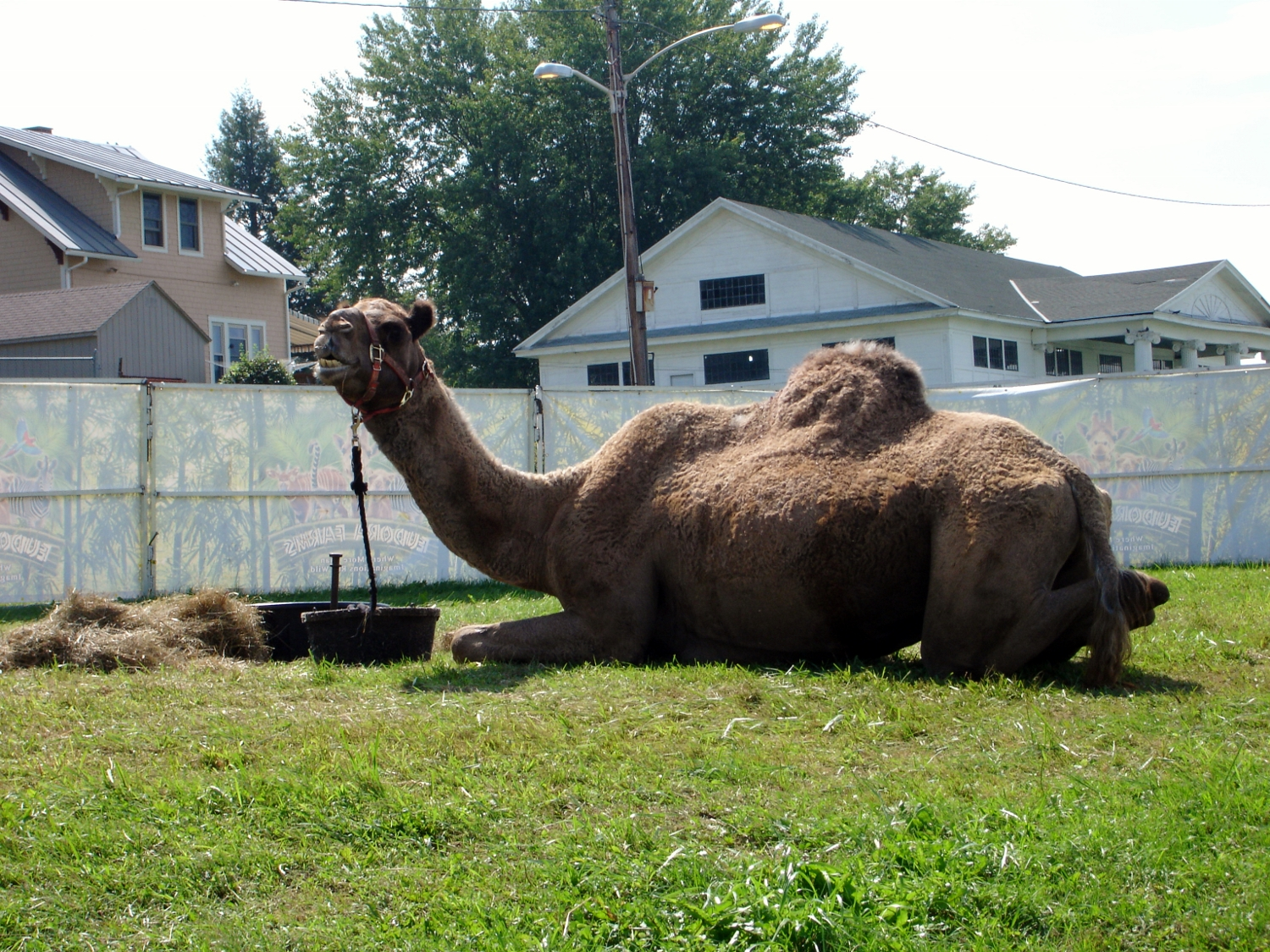 Ride a camel at the Vermont State Fair.