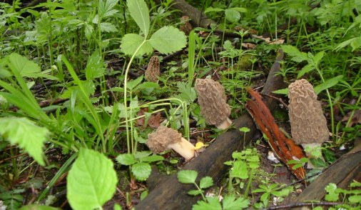 Look for morels in your local forest.