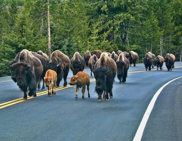 Buffalo, Buffalo Barbecue, Grand Lake, CO