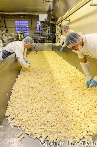 Production of fresh curds at Renard's Cheese